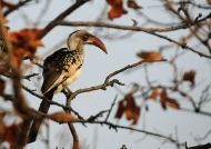 Ruaha Red-billed Hornbill