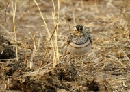 Three-banded Courser