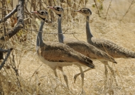 White-bellied Bustards f. 2m.