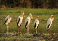 Yellow-billed Storks & immat.