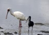 Spoonbill & Glossy Ibis