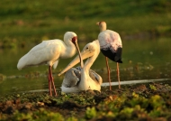 African Spoonbill & Pelican