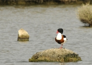 Common Shelduck – male