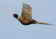 Common Pheasant – male