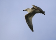 European Herring Gull – juv.