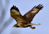 Juvenile  (Near threatened)