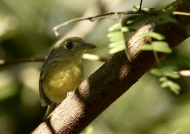 Cuban Vireo (near threatened)