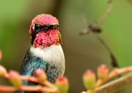 Same Bee Hummingbird-male