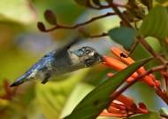 Bee Hummingbird – juv. male