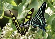 Same Butterfly&Urania Moth