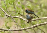 Blue Waxbills – courtship