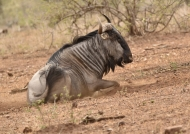 Blue Wildebeest – male