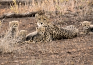 South Africa – Cheetah with her 4 cubs