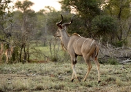 Greater Kudu – male