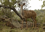 Greater Kudu – female