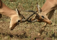 Impalas – horn clashes