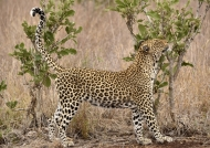 Leopard – old female