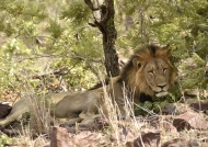 Lion – male