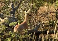 Steenbok  hidding