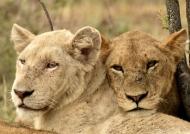 White Lion – friendly attitude