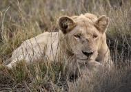 White Lion – male (Leucistic)
