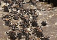 Herd of wildebeest swimming