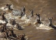 Just few Zebras are crossing
