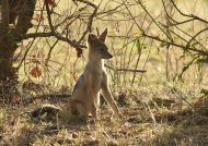 Black-backed Jackal – young