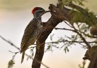 Nubian Woodpecker – f.