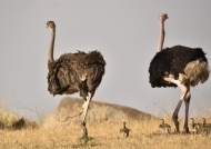 Ostriches-couple with chicks