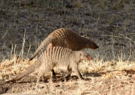 Banded Mongooses