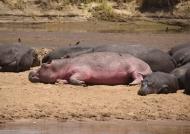 Hippo – unusual pigmentation