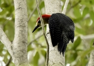 Jamaican Woodpecker-endem.