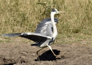 Grey Heron well decided…