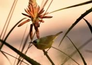 Collared Sunbird – f.