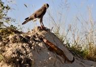 Goshawk facing a mongoose