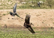 to attack an Hamerkop…