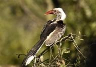 Red-billed Hornbill – juv.