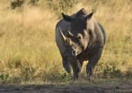White Rhino – Presentation