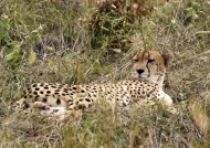 Peaceful Cheetah – male