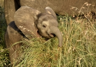 Baby Elephant « laughing »
