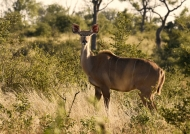 Kudu – female