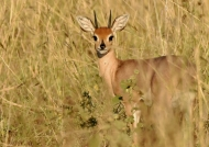 Steenbok – male