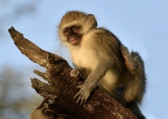 Vervet Monkey arbitrating