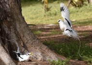 White-tailed Tropicbirds