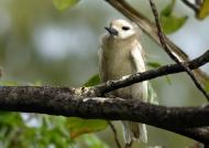 Fairy Tern – chick