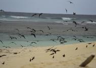 Sooty Terns near the beach