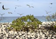 Sooty Tern colony