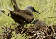 Brown Noddy with chick