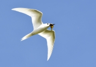Fairy Tern with a fish